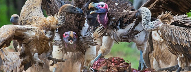 African_Vultures_by_Andre_Botha_lh