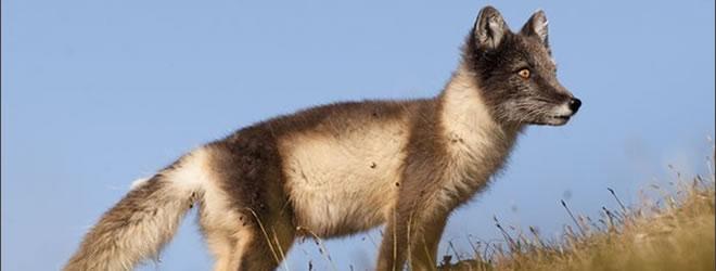 Arctic_fox