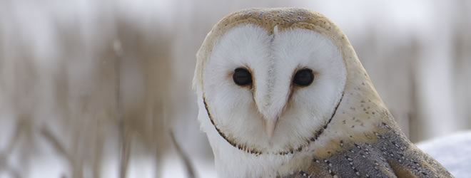 Barn Owl image copyright Chris Packham