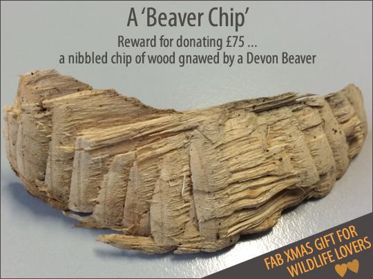 Devon Beavers - Beaver chip