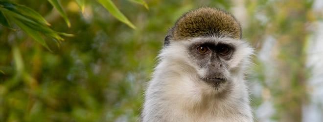 Vervet Monkey at IOW Zoo