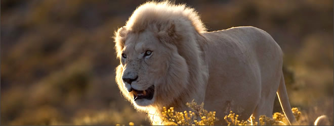 Lion image - copyright Chris Packham