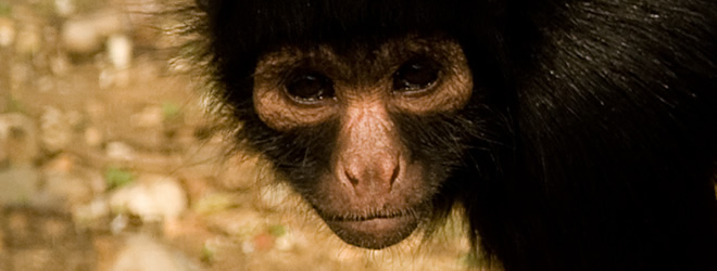 Millie-Spider-monkey-IOW-zoo