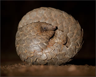African Ground Pangolin - image copyright Chris Packham
