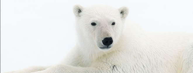 Operation  Iceberg - Polar Bear | Copyright Chris Packham