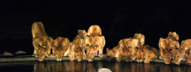 Safari Banner LH