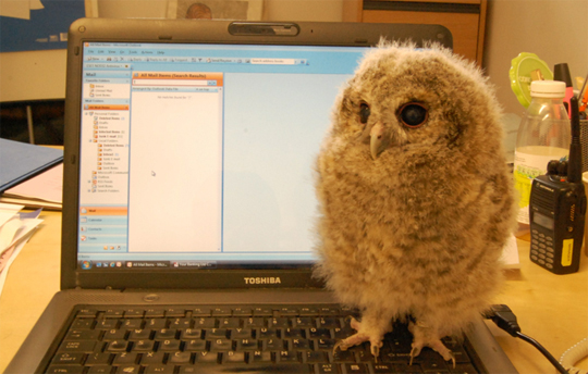Darwin the Tawny Owl