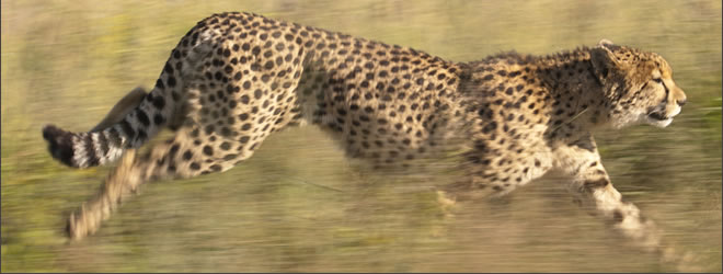 Leopard running. Image copyright Chris Packham