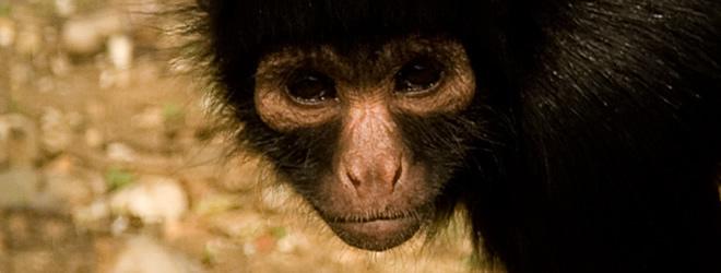 Millie-Spider-monkey-IOW-zoo