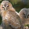 The Secret Life of Tawny Owls - film by David Culley